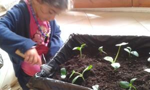 Haciendo el trasplante de nuestro semillero a su lugar permanente