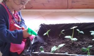 Regando las plantas recién trasplantadas