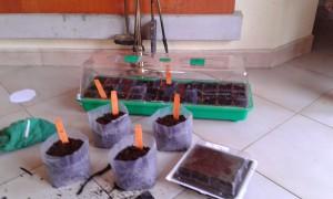 Semilleros de calabacín, pimientos, tomates y pepinillos