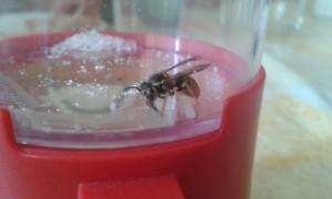 Una avispa en el vaso del Triple Bug Viewer